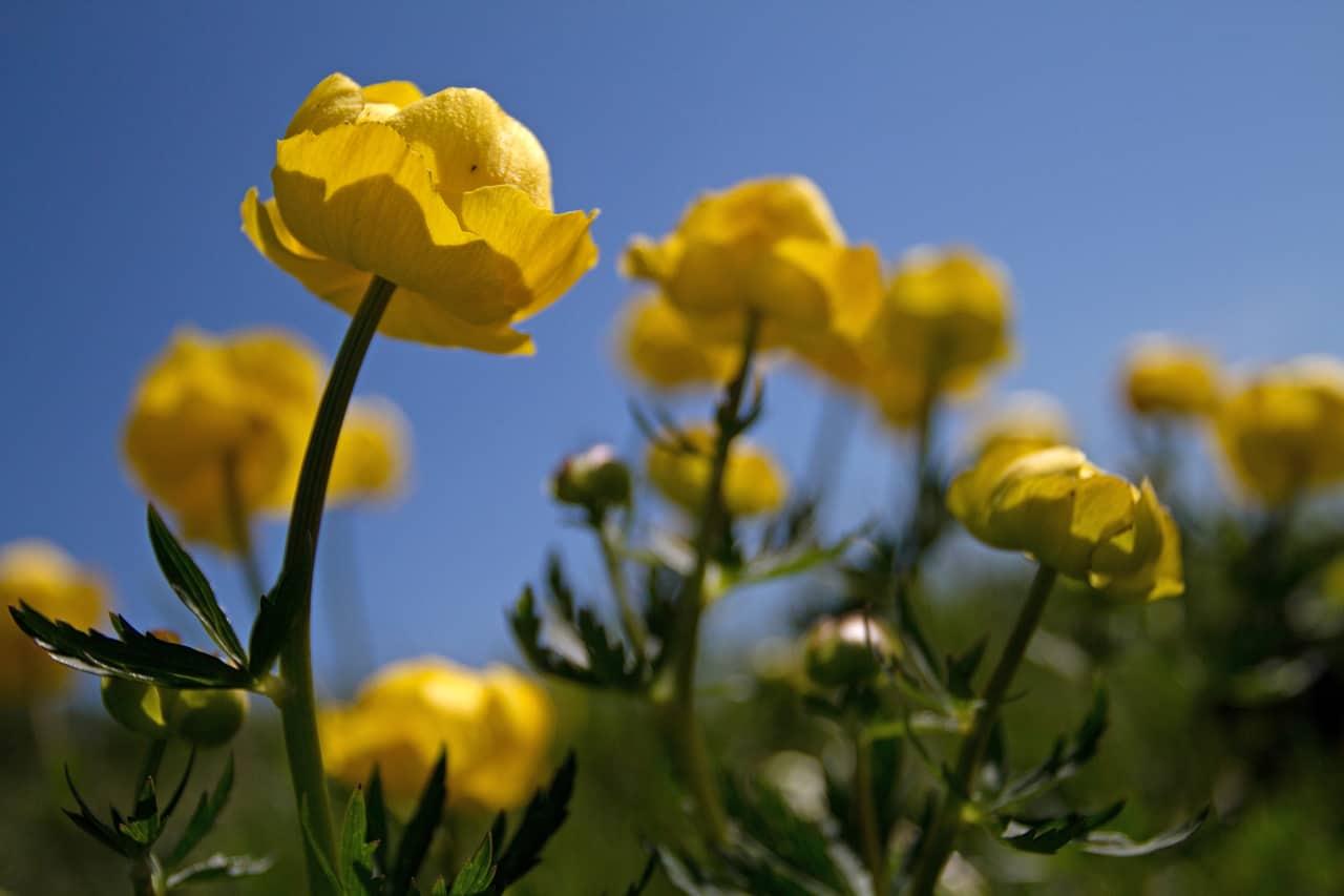 yellow globe flowers