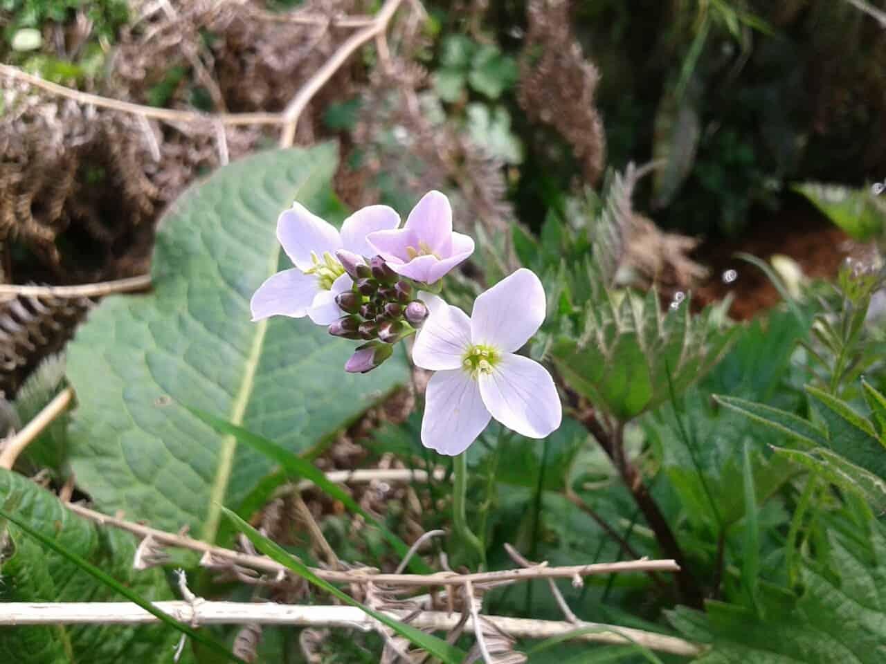 Cuckoo flower or Ladys Smock