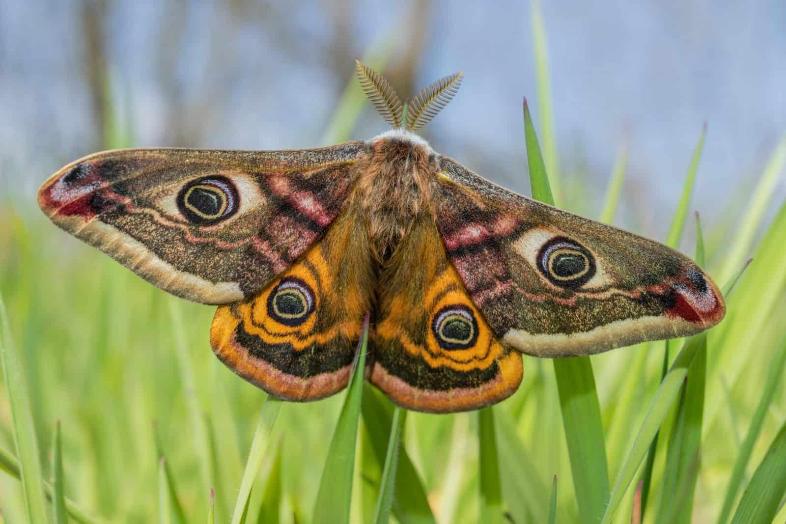 Male-Emperor-Moth