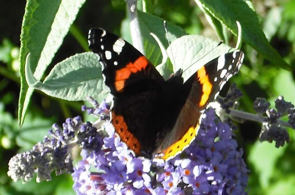 Tortoiseshell butterfly in the kitchen garden